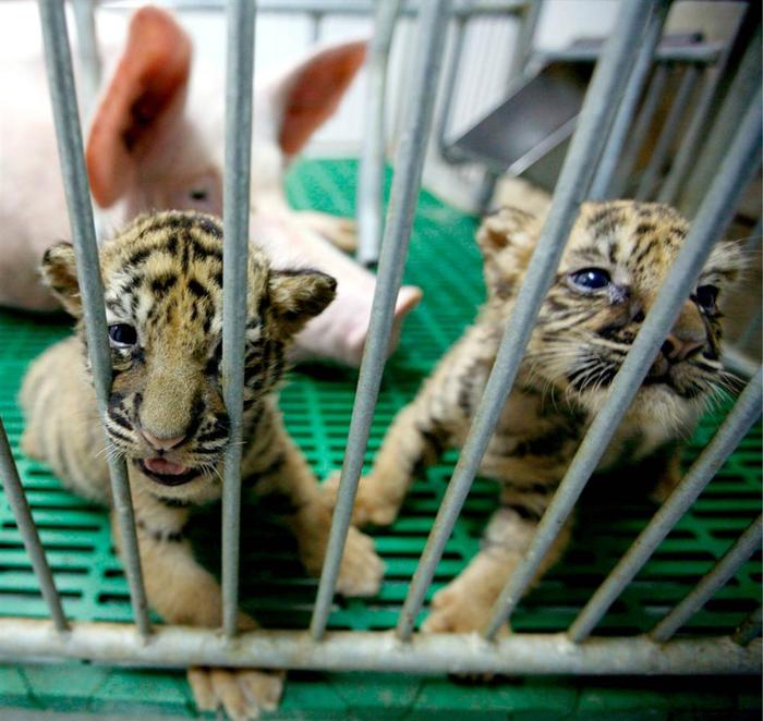тигровый зоопарк в таиланде фото 16 (700x662, 474Kb)