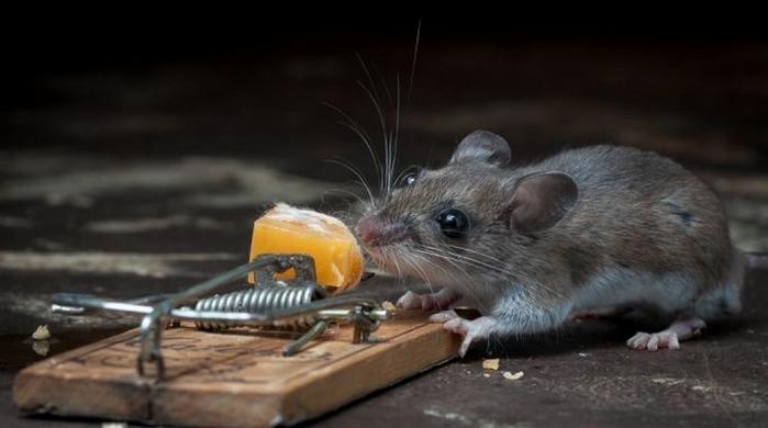 мышь фото 2 (700x390, 135Kb)