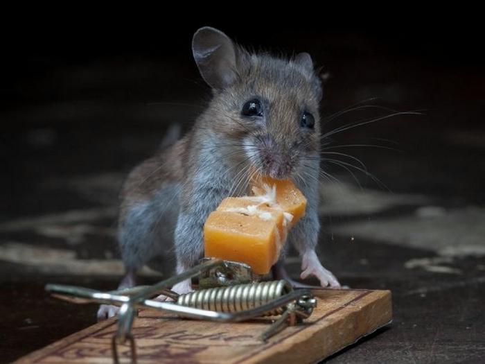 мышь фото 6 (700x525, 165Kb)