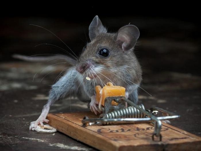 мышь фото 10 (700x525, 175Kb)
