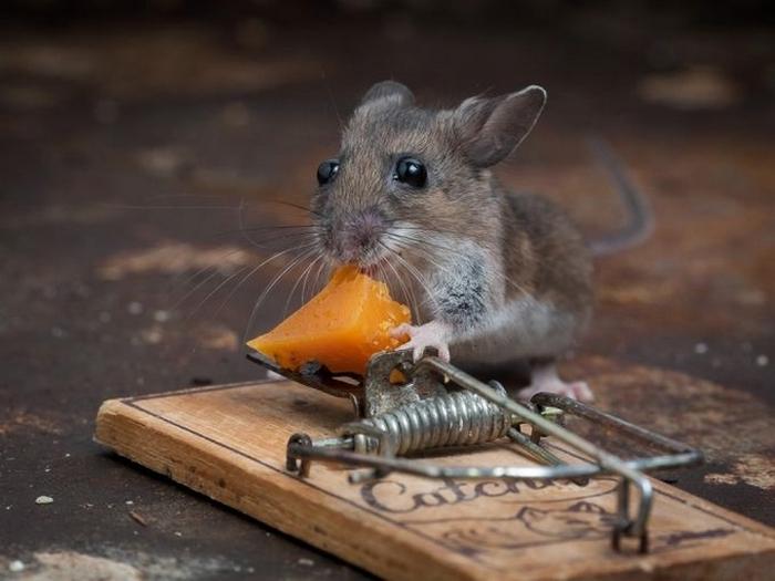 мышь фото 12 (700x525, 196Kb)