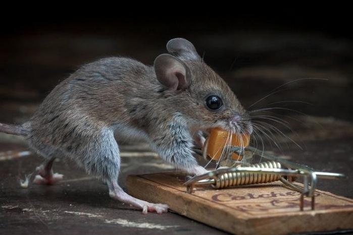 мышь фото 15 (700x466, 173Kb)