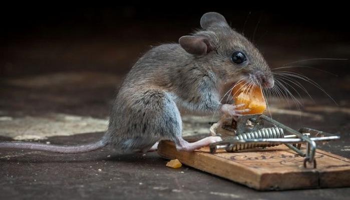 мышь фото 17 (700x399, 152Kb)