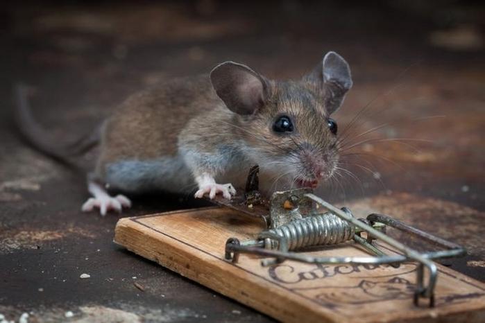 мышь фото 20 (700x466, 176Kb)