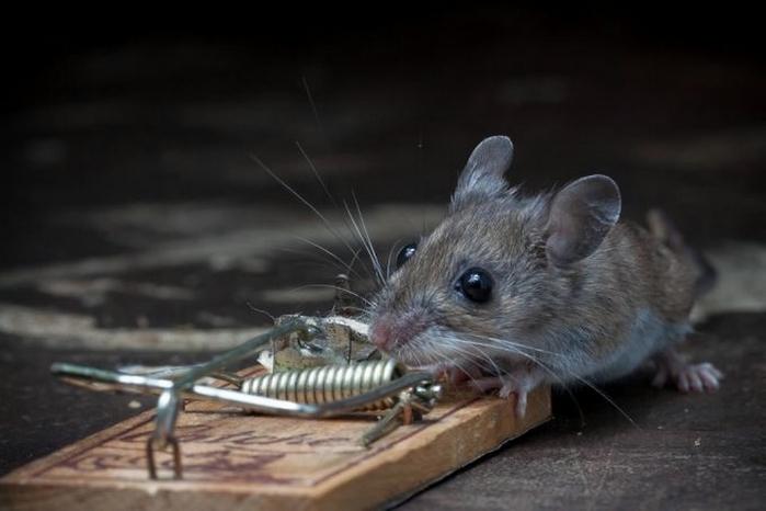 мышь фото 21 (700x466, 153Kb)