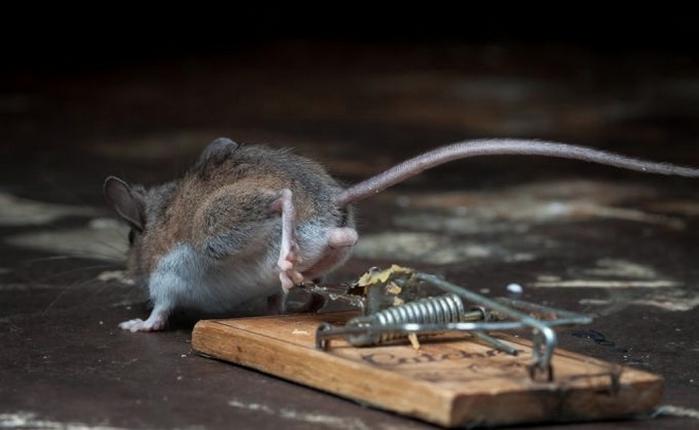 мышь фото 24 (700x430, 139Kb)