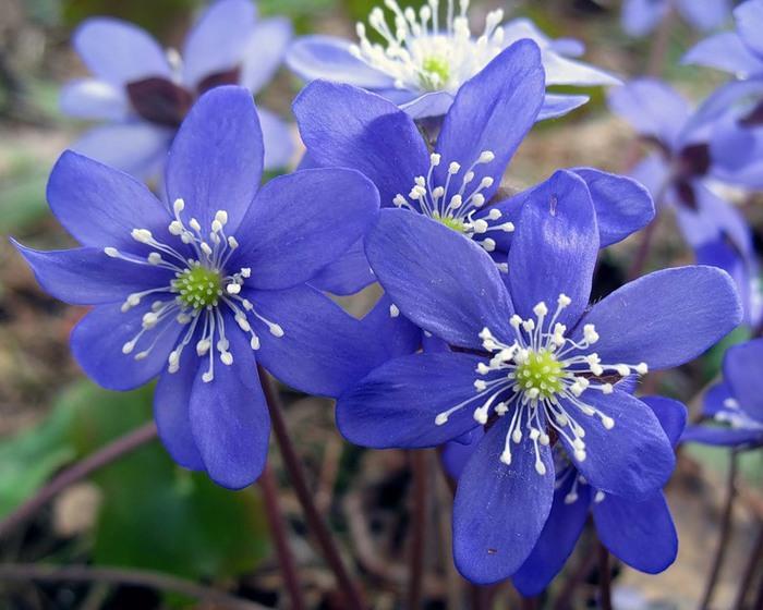 цветы/1401179723_sinie_podsnezhniki (700x560, 99Kb)