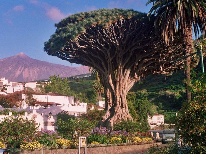 1868538_Icod_de_los_Vinos_Tenerife (700x523, 199Kb)