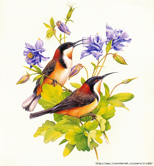 MS-4th_Beautiful_Australian_Birds_2004_009_August1 (649x700, 354Kb)