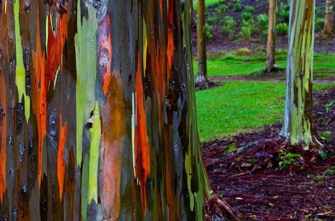 радужный эвкалипт фото 4 (667x440, 317Kb)