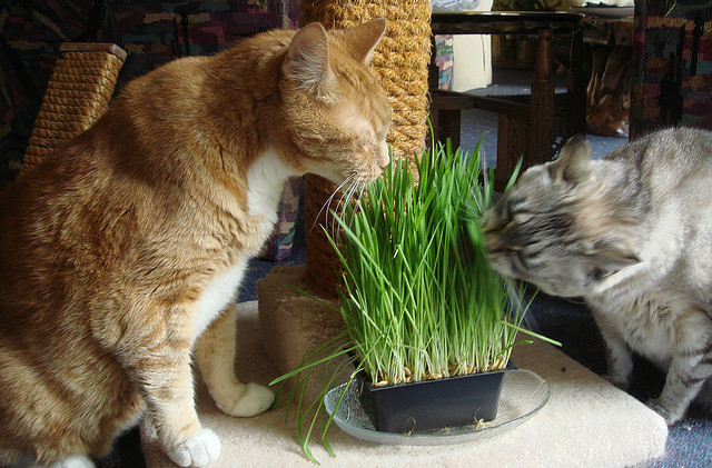 Трава для кошек как сажать