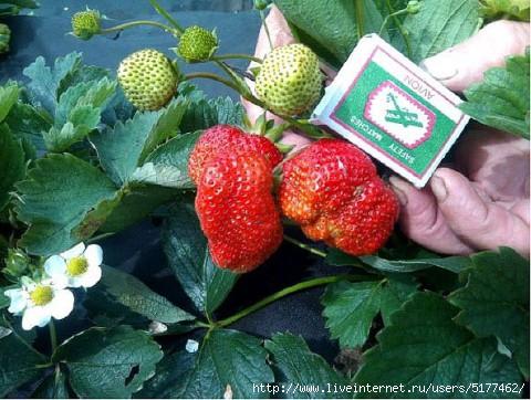 Опыт выращивания клубники от Татьяны Ивановой/5177462_big_1_ (480x362, 147Kb)