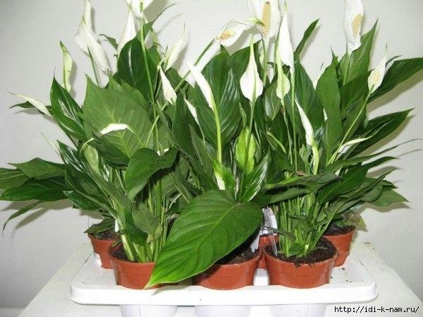 чем подкармливать комнатные растения, как подкормить комнатные растения, уход за комнатными растениями Хьюго Пьюго,