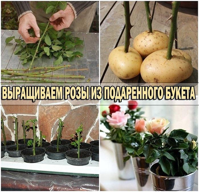 розы (700x672, 554Kb)