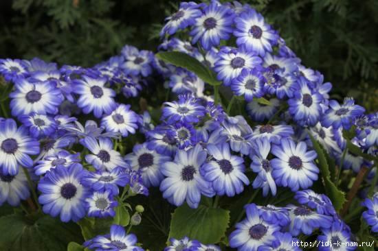 Посадка цветов под зиму, какие цветы нужно сажать под зиму, какие цветы можно сажать осенью, осенние работы в цветнике, что нужно делать с цветами осенью, Хьюго Пьюго осенее цветоводство,