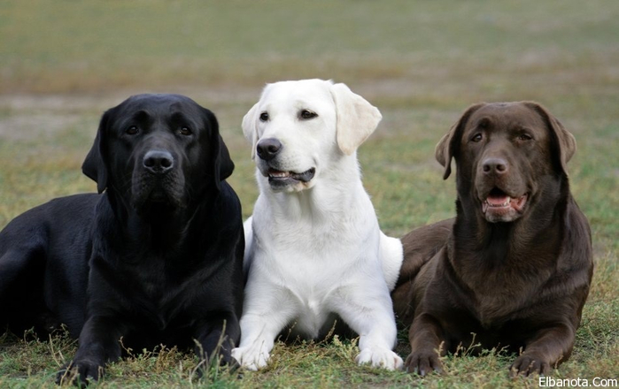 three-labradors_950_watermark (700x440, 250Kb)