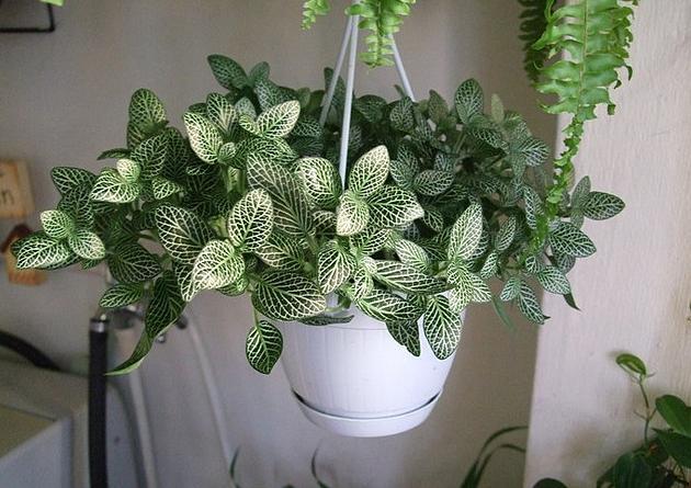 Комнатное растение фиттония уход в домашних условиях