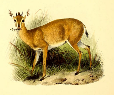 The_book_of_antelopes_(1894)_Cephalophus_coronatus (396x328, 237Kb)