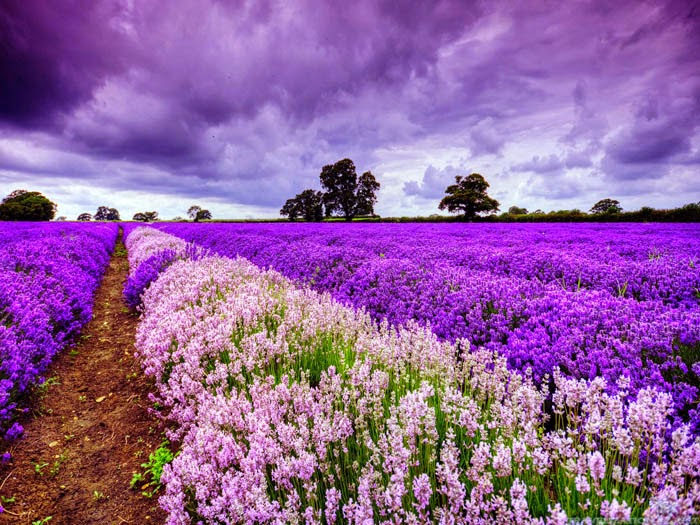 World___France_Blooming_field_in_Provence__France_073078_ (700x525, 129Kb)