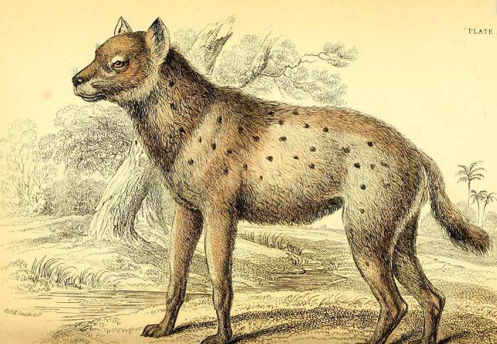 Azara_spotted_hyena (700x485, 703Kb)