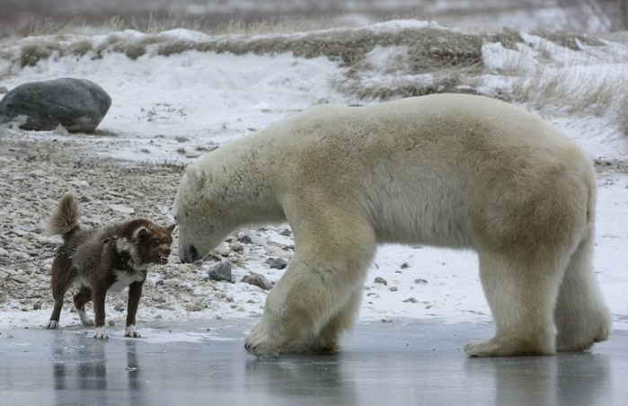 a comparison of the polar and brown bear