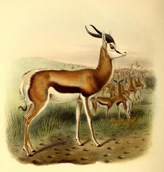 The_book_of_antelopes_(1894)_Antidorcas_euchore (574x602, 533Kb)