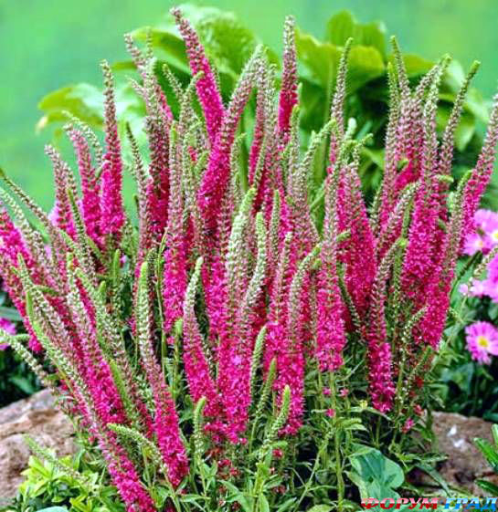 Цветок вероника розовая