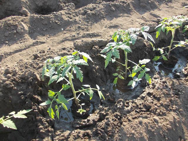Терёхины по выращиванию томатов 93