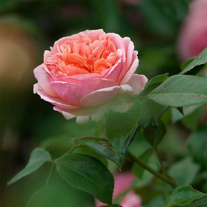 Розовые розы для рабочего