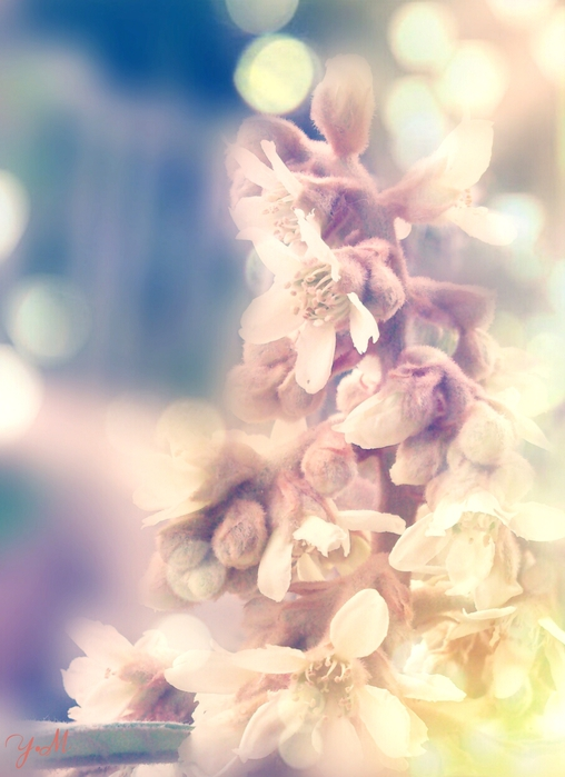 White rosee (508x700, 212Kb)