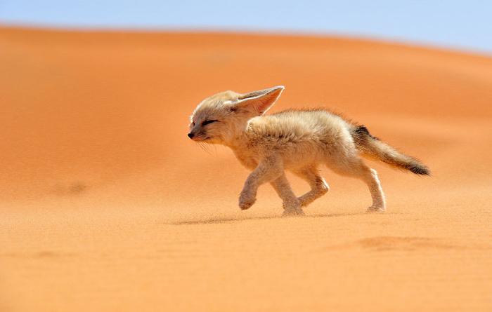 fox-species-photography-2-1 (700x445, 108Kb)
