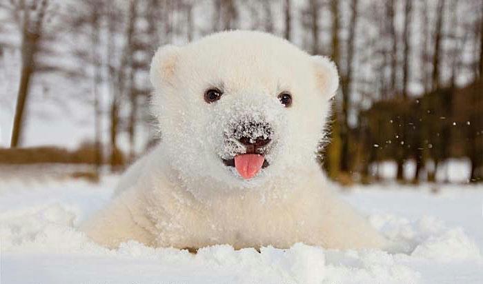 1. Этот белый медвежонок увидел снег в первый раз (700x412, 156Kb)