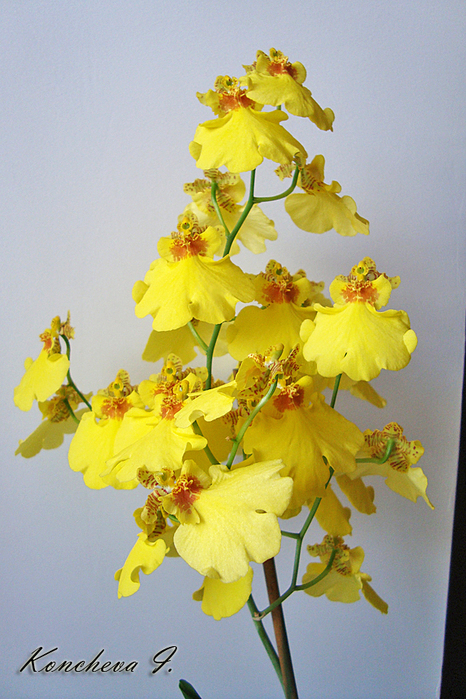 8_1_Oncidium (466x700, 403Kb)