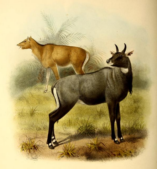 The_book_of_antelopes_(1894)_Boselaphus_tragocamelus (518x558, 432Kb)