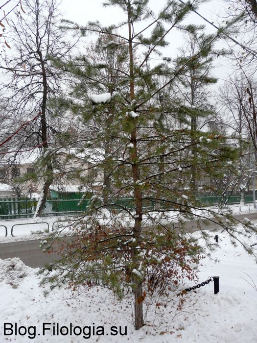 Зеленая елка в поселке художников на Соколе (525x700, 119Kb)