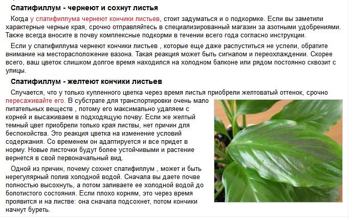 спатифиллум фото кончики листьев чернеют
