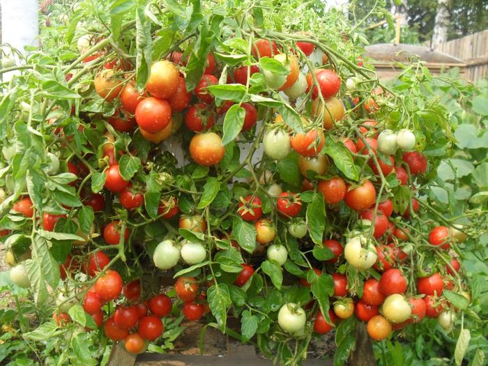 ампельные томаты (600x425, 554Kb)
