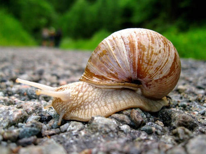 Incredible_Snails_18 (700x525, 94Kb)