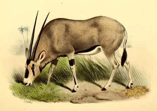The_book_of_antelopes_(1894)_Oryx_beisa (502x354, 272Kb)