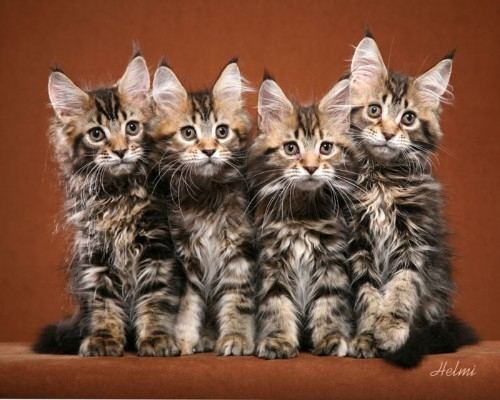 main-coon-kittens-500x400 (500x400, 176Kb)