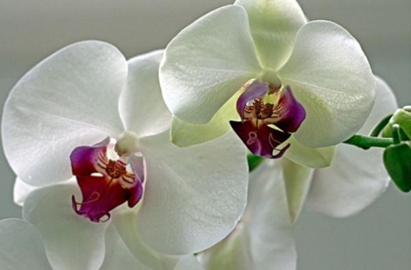 орхидея (600x395, 61Kb)