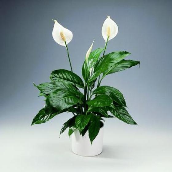 4085414_40557455spathiphyllum1 (560x560, 130Kb)