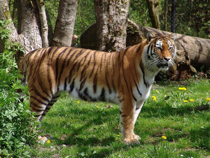 amurskiy_tigr (700x525, 355Kb)