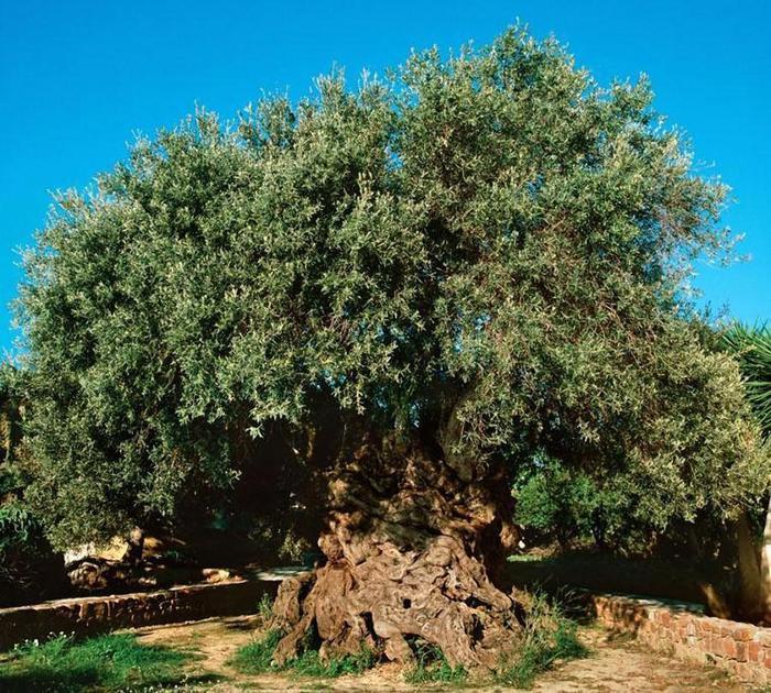 trees16 (700x630, 126Kb)