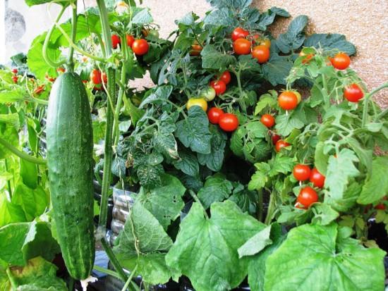 Выращивание огородных растений на балконе.