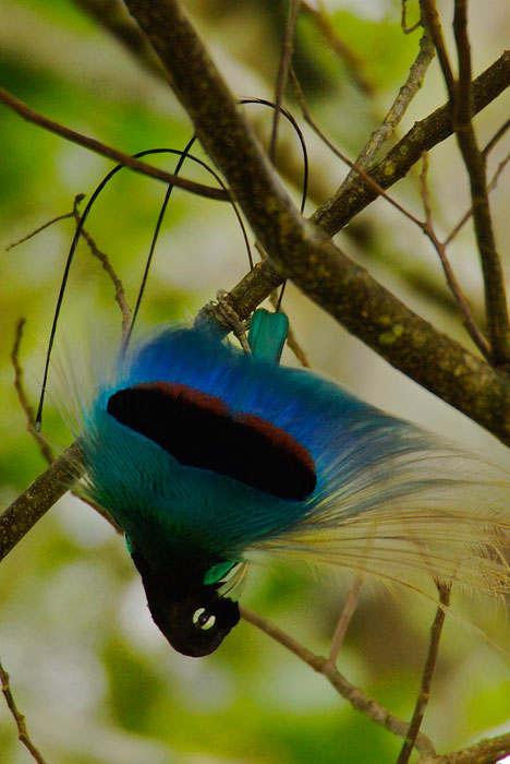 Великолепная райская птица