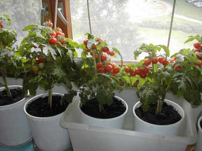 Vyrashhivanie-pomidorov-na-podokonnike-4 (400x300, 93Kb)