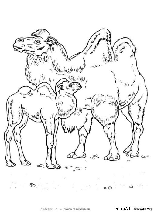 раскраски животныен и их детеныши, раскраска верблюд и верблюжонок,