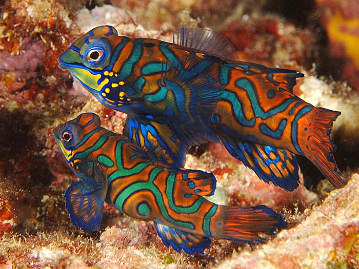 мандаринка рыба 4 (700x525, 483Kb)