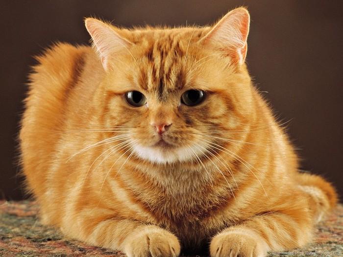 Цитата рыжий кот